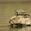 Indian Tent Turtle (Kachuga tentoria) in the river Chambal