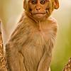 A young Rhesus Macaque (Macaca mulatta)in Sariska tiger reserve