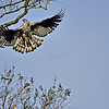 Changeable Hawk-Eagle (Spizaetus cirrhatus) flying to a branch against blue sky