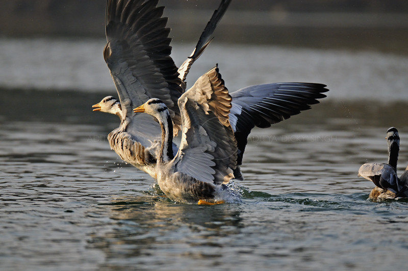 Bar-headed Goose (Anser indicus) taking off a from a river in north India