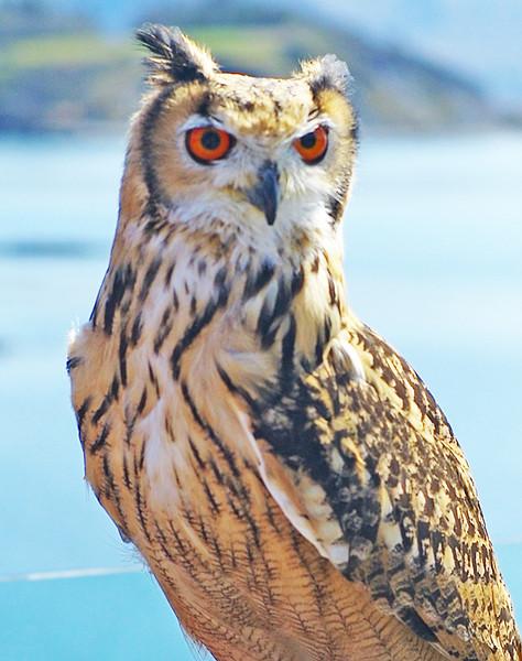 Eagle Owl - Parknasilla Co. Kerry,  April 2015
