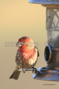 House Finch 2011_0324-007a