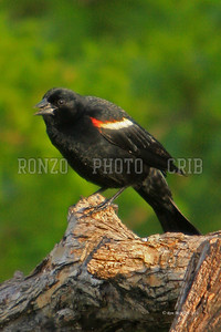 Red Wing Black Bird 2011_0502-001