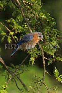 Blue Birds 2011_0420-052a8x12