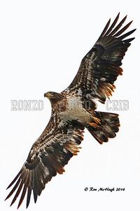BALD EAGLE 2014_0209-004