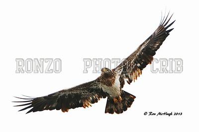 BALD EAGLE 2014_0209-005