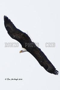 BALD EAGLE 2014_0209-002