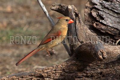 Cardinals 2012_0218-006a12x8