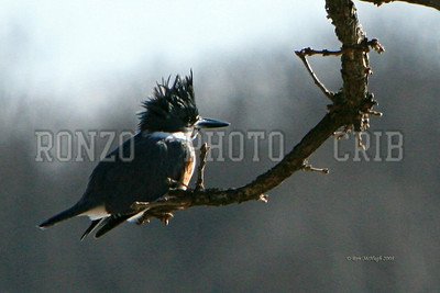 Belted Kingfisher 2008_0119-085a8x12