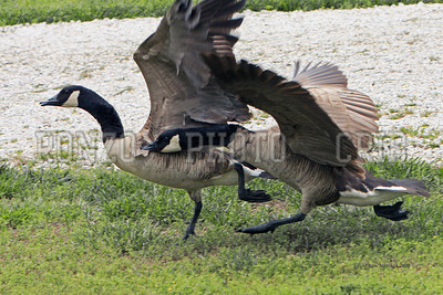 Canadian Geese 2012_0414-008a