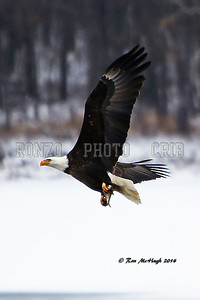 Bald Eagle 2014_0209-007