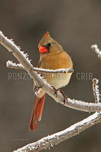Cardinal 2008_0223-175a8x12