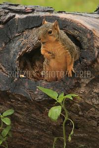 Squirrels 2011_0501-015a8x12