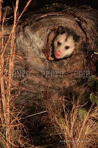 Opossom Dec 2008-071a