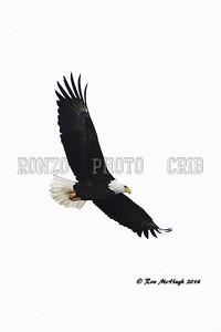 Bald Eagle 2014_0214-008