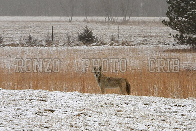 Coyote 2010-009a8x12