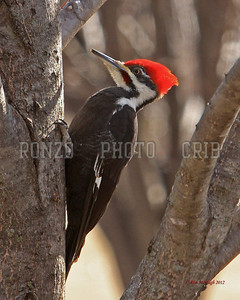 Pileated Woodpecker 2012_0113-017a8x