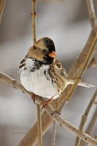 Harris's Sparrow 2010-057a8x12