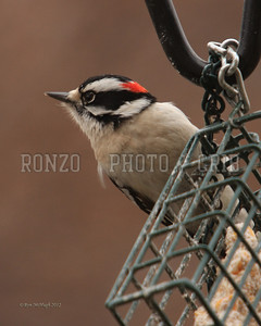 Downy Woodpecker 2012_0112-046a8x