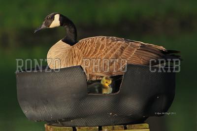 Goose Nest 2011_0507-065a12x8