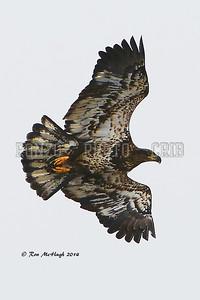Eagle 2014_0209-001