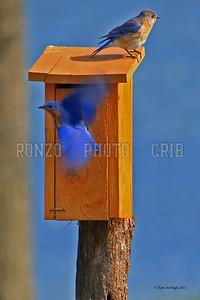 Blue Birds 2011_0420-011a