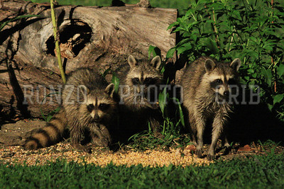 Racoon 2011_0821-053a4x
