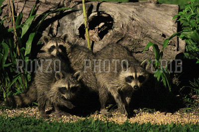 Racoon 2011_0821-019a4x