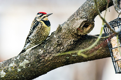 Just a Woodpecker