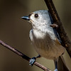 Tufted Titmouse, Northern