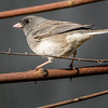 Dark-eyed Slate-Colored Junco