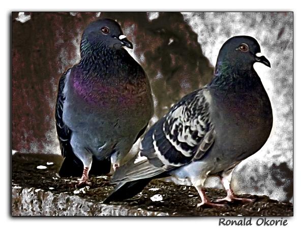 USC_Pigeon