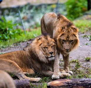 Lion Moment