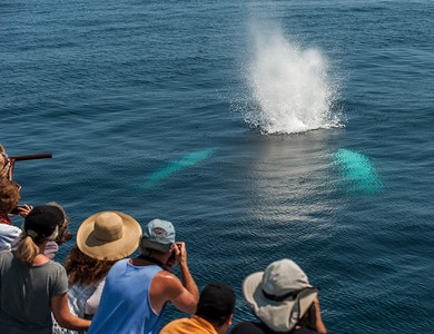 Humpback Whale Blow during Whale Watching Trip