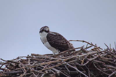 Outer Banks Osprey1