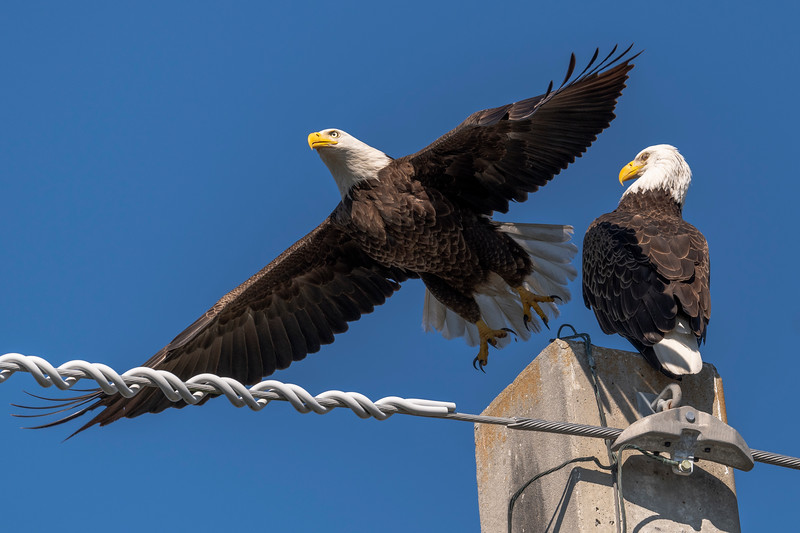 Bald Eagles in Palm Beach Gardens, FL