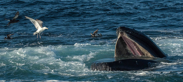 Humpback Whale with Various Pelagic Birds.