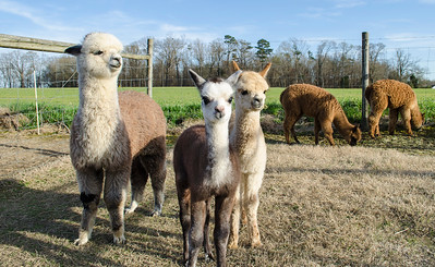 Alpaca Shoot
