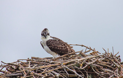Outer Banks Osprey2