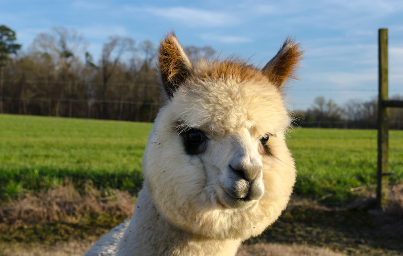 Awesome,Alpaca