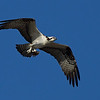 Osprey, East Hartford CT