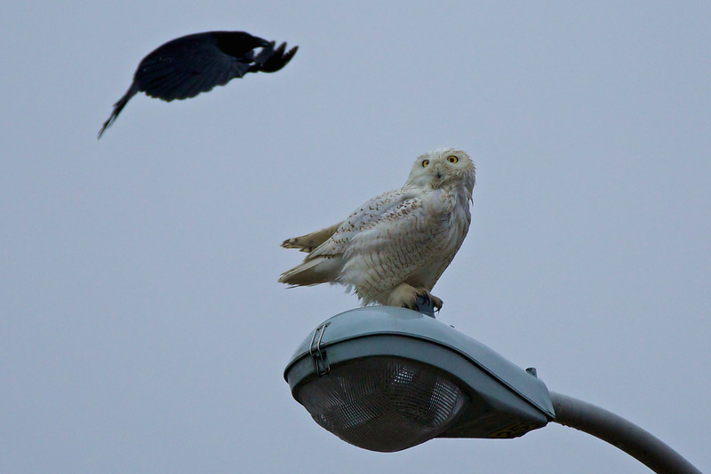 Snowy Owl on street light (being harassed by crows), Newport Rhode Island