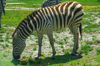 Zebra on Zoom