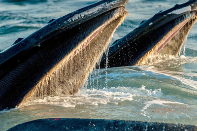 Humpback Whale, Mother and Calf Open mouth feeding