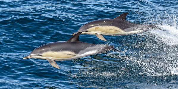 Dolphin pair flying