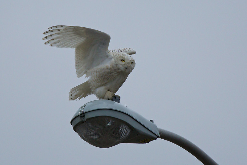 Snowy Owl on street light