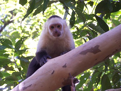 White-faced capuchin, Hacienda Baru National Wildlife Refuge, Costa Rica