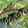 White-Faced Capuchin Monkeys : Cebus capucinus * Mono Carablanca