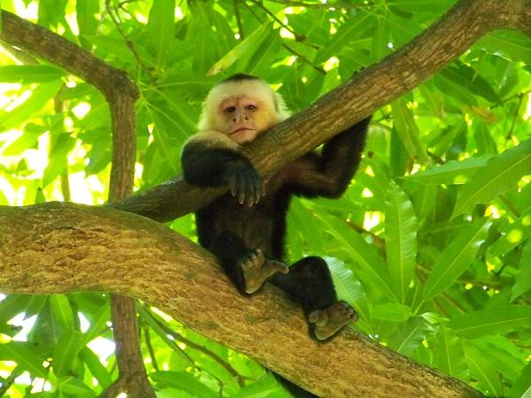 Cebus capucinus * White-Faced Capuchin Monkey *  Mono Carablanca
