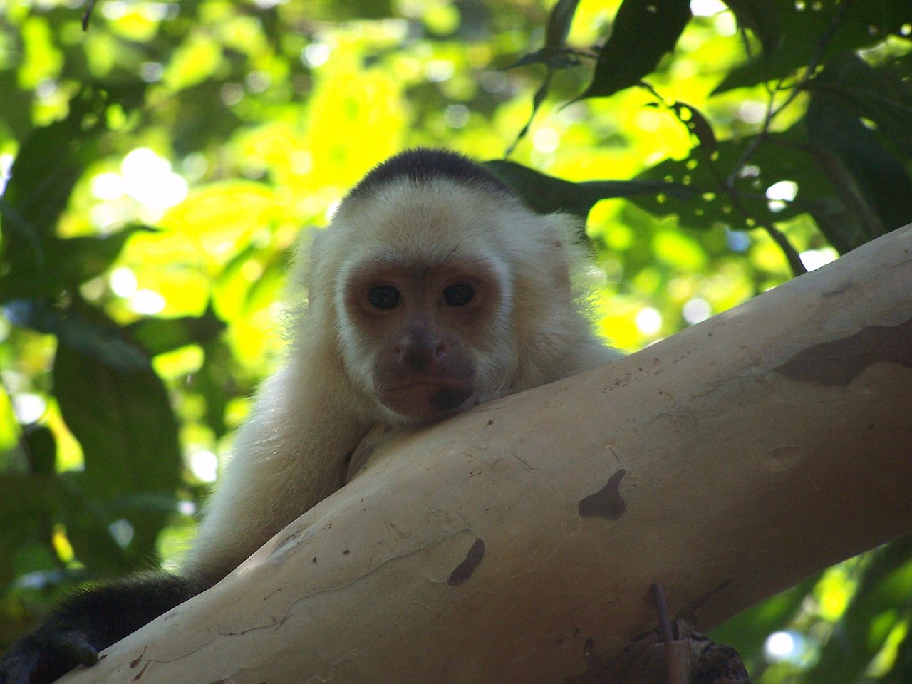 White-faced capuchin, Hacienda Baru.